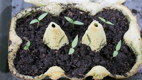 Paprika-Sprösslinge in einem Eierkarton, der mit Erde gefüllt ist von oben fotografiert.
