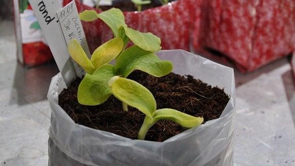 In einem durchsichtigen Plastebeutel mit Erde sind die Ansätze von Zucchini-Pflanzen zu sehen.