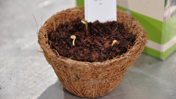 Ein kleines Blumentöpfchen aus einer Faserstruktur. Es ist gefüllt mit Erde. Erste Pflanzenansetze zeigen sich.