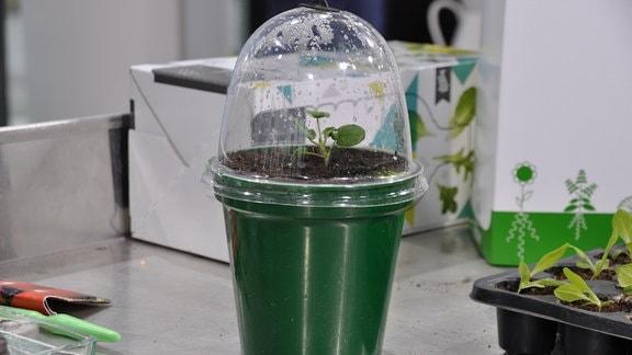 Ein dunkelgrüner mit einem Pflanzansatz und einer durchsichtigen Abdeckhaube aus Plastik. Der Topf steht auf einem Metalltisch. Weitere Utensilien liegen auf dem Tisch