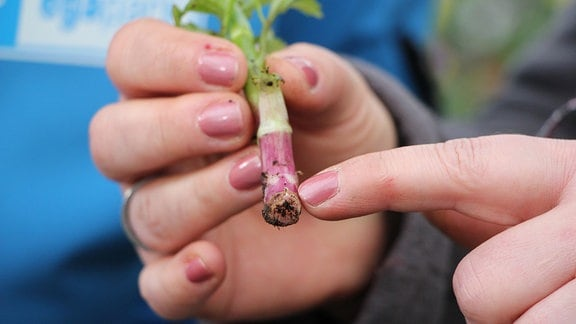 Zwei Hände halten den grünen Steckling einer Dahlie mit dem unteren, rosa gefärbten Teil nach vorne