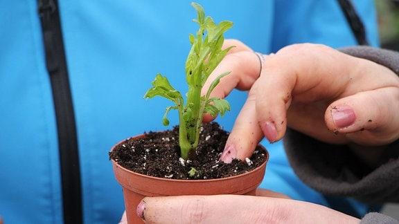 Eine Hand drückt mit dem Mittelfinger die Erde in einem etwa zehn Zentimeter hohen Pflanzgefäß aus Kunststoff fest, in das der grüne Steckling einer Dahlie gepflanzt wurde