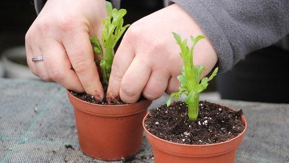 Zwei Hände drücken die Erde in einem von zwei nebeneinander stehenden, knapp zehn Zentimeter hohen Pflanztöpfen aus Kunststoff fest,  in denen je ein grüner Steckling einer Dahlie gepflanzt wurde