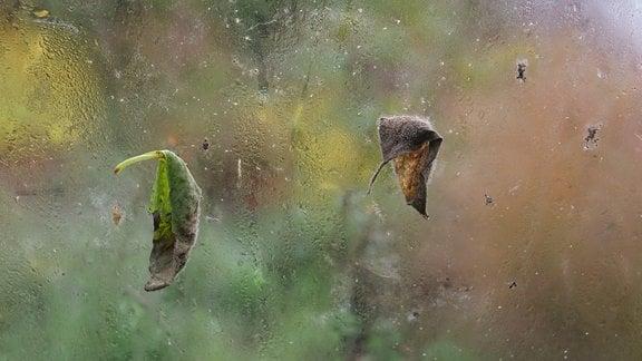 Schimmelnde Blätter an Glasscheibe von Gewächshaus
