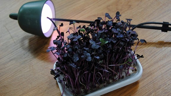Pflanzenlampe beleuchtet junge Keimlinge