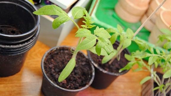 Vorzucht von Tomaten aus Samen in Plastikschalen