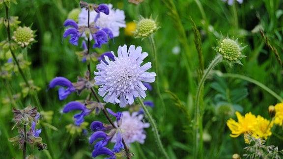 Acker-Witwenblume und Wiesen-Salbei auf Wildblumenwiese