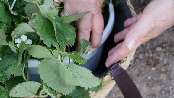 Eine Hand zeigt den Zwischenraum zwischen einer Erdbeere im Topf und der Korbwand.