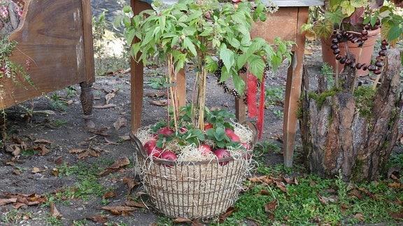 Himbeere in Wäschekorb mit Holzwolle und Äpfeln.