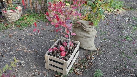 Eine schwarze Apfelbeere steht in einer Kiste mit Tannenzapfen und Äpfeln.