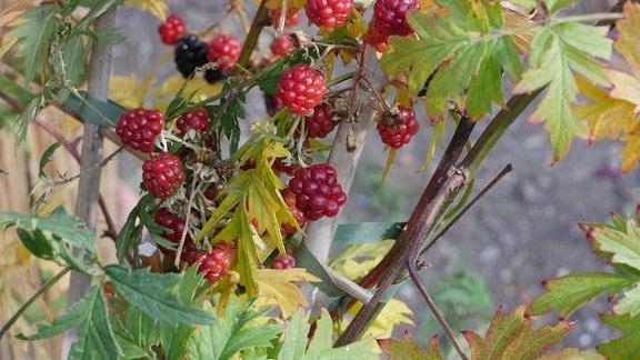 Rote und schwarze Früchte eine Brombeere.