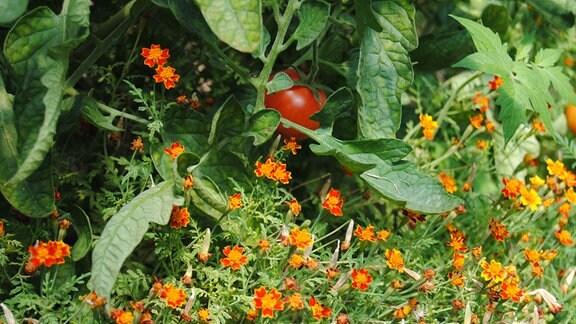 Gewürztagetes als Unterpflanzung in Gewächshaus mit Tomaten