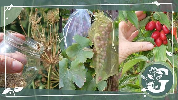 Dill sammeln, Tafeltrauben mit Tüllsäckchen schützen und reife Kornelkirschen ernten