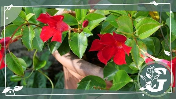 Rot blühende wärmeliebende Pflanze Mandevilla in Topf