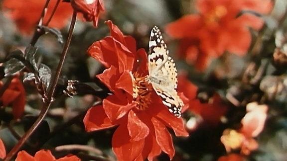 eine rote Blume mit einem Schmetterling