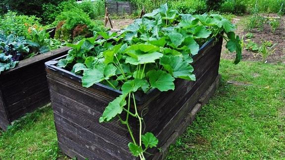 Zu dicht mit Zucchini und Kürbis bepflanztes Hochbeet