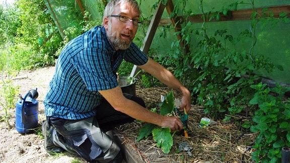 Kleingärtner Jörg Heiß entfernt Blätter mit Mehltau von Zucchinipflanze