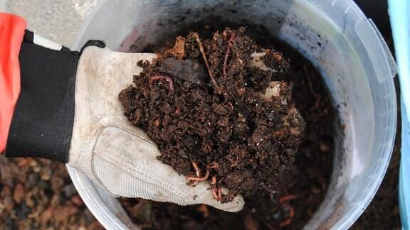 Eine Hand mit Gartenhandschuh hält Kompost mit Wümern darin