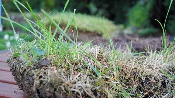 Ein Stückchen eher trockenen Rasens mit Wurzeln und Erde liegt auf einem Holztisch