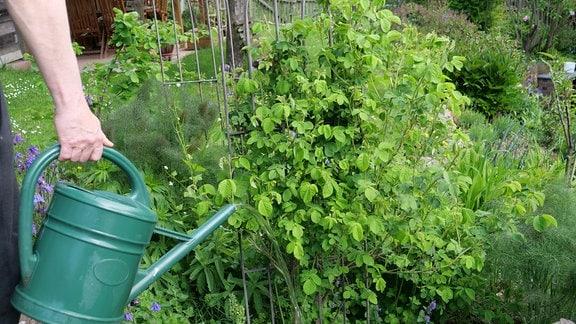 Rosen im Garten mit verdünnter Pflanzenjauche gießen