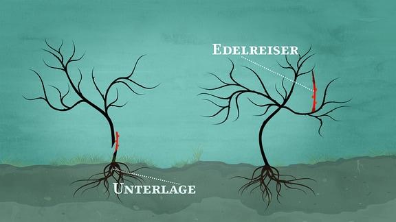Eine Grafik zeigt zwei Bäume an denen Unterlage und Edelreiser rot markiert sind.