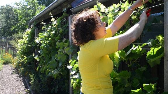 Gartenfachberaterin Brigitte Goss steht am Weinspalier und schneidet die Rebe zurück.