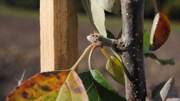 Blütenknospe mit mehreren Blättern am Trieb eines Apfelbaums, der an einem Gerüst aus Holz als Spalier erzogen wurde