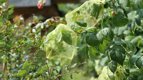 kleine Tüllnetze sind um Himbeerfrüchte gebunden