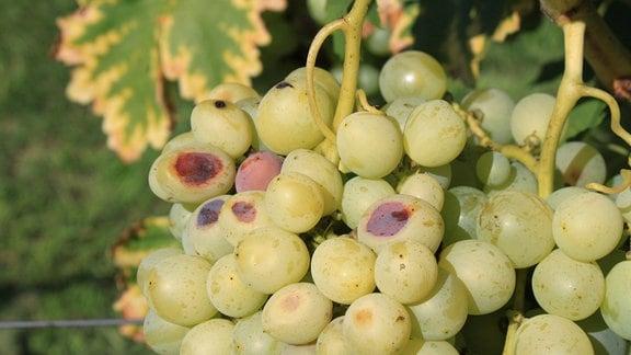 Helle Weintrauben mit braunen Faulstellen
