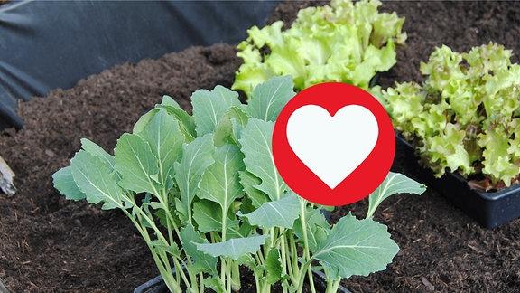 Junge Kohlrabi- und Salat-Pflanzen in schwarzen Gefäßen aus Kunststoff stehen auf der Erde in einem noch nicht bepflanzten Hochbeet, das am Rand mit schwarzer Folie ausgekleidet ist. Herz-Emoji für gute Nachbarschaft.