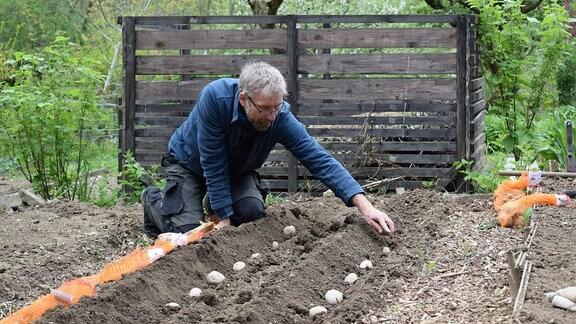 Jörg Heiß legt Kartoffeln in Furchen.