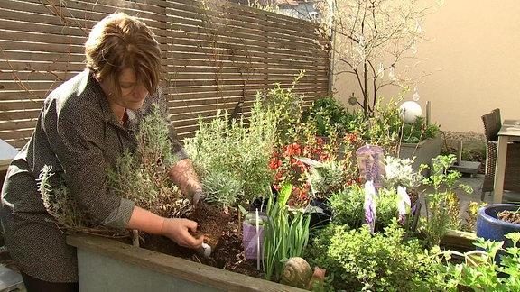 Lavendel ohne Blüten wird in ein Hochbeet eingepflanzt