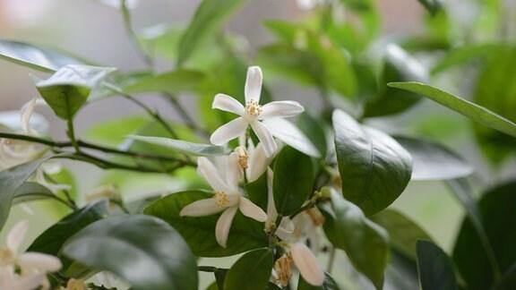 Weiße Blüten an einem Mandarinenbäumchen