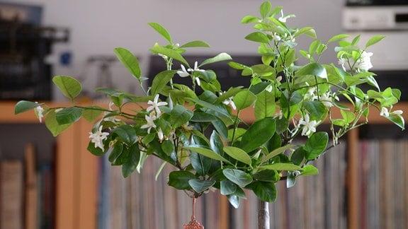Mandarinenbaum mit vielen Blüten steht in einem Wohnzimmer
