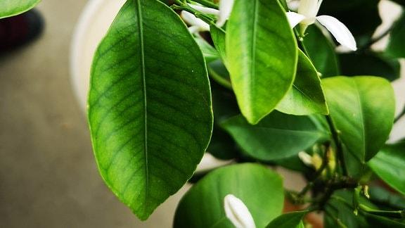Blätter eines Mandarinebaums mit sichtbaren Blattadern