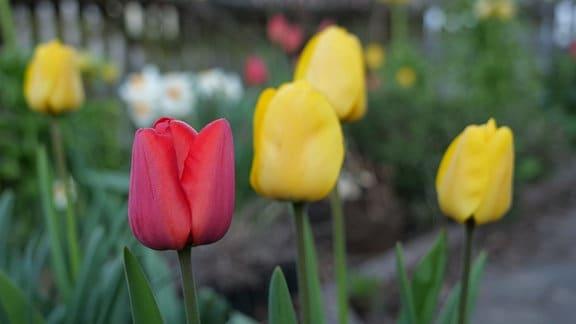 Tulpe Apeldoorn rot und gelb