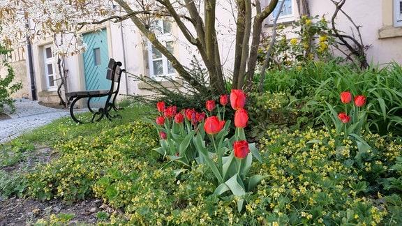 Tulpen im Halbschatten mit Waldsteinien