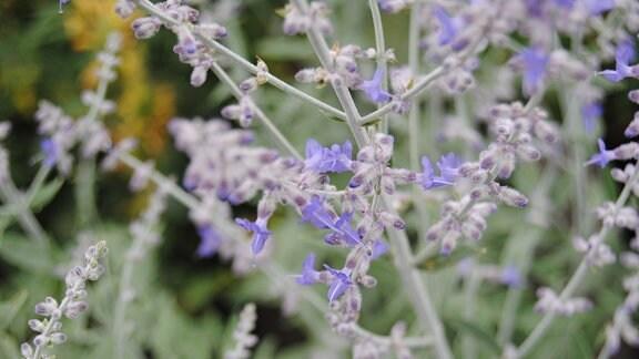 Eine Pflanze mit mehreren winzigen, blauen Blüten und silbrig-grünen Stängeln