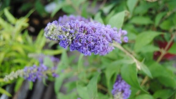 Eine längliche Blütenrispe mit zahlreichen kleinen, lila Blüten an einem Strauch