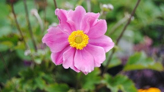 Eine rosa Blüte mit gelber Mitte einer Anemone