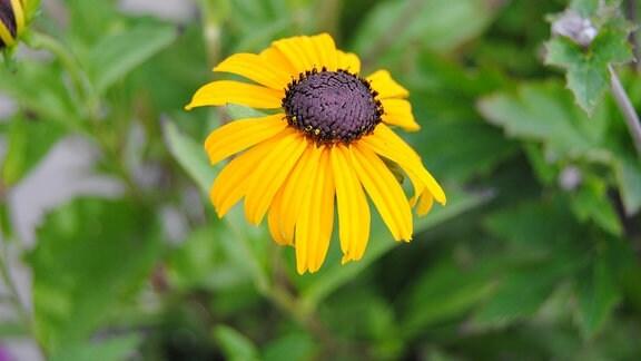 Eine gelbe Blüte mit dunkler Mitte von einem Sonnenhut