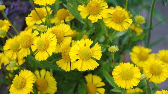 Zahlreiche gelbe Blüten einer Sonnenbraut-Pflanze