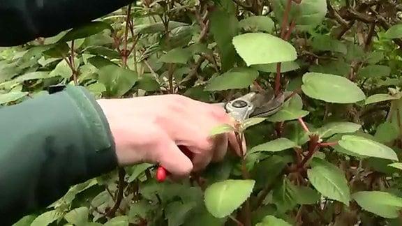 Eine Hand hält eine Gartenschere an den Trieb einer Fuchsie