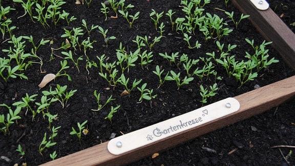 Grüne Sprosse wachsen aus dunkler Erde in einem quadratischen Hochbeet, auf dem Holzleisten mit der Aufschrift Gartenkresse angebracht sind