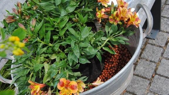 Eine Inka-Lilie mit orange-rot-gelben Blüten in einem Kübel steht in einer ovalen Zinkwanne, deren Boden mit feuchten Kügelchen aus Blähton bedeckt ist