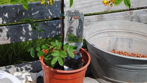 Eine mit Wasser gefüllte PET-Flasche steckt umgedreht in einem Kübel mit einer gelb blühenden Gewürzrinde