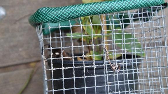 Korb gegen Wühlmäuse mit einer Pflanze
