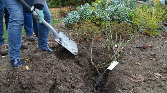 Mit einem Spaten wird Erde über Rosen in einem Pflanzengraben geschaufelt