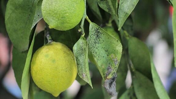 Zitronen und Blätter an einem Zitronenbaum, der mit Rußtaupilz befallen ist