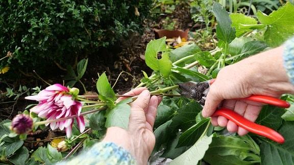 Blüten und Knospen kurz vor der Blüte zieren jetzt noch die Vase